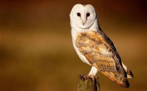 barn owl for barn owl habitat diet reproduction reptile park
