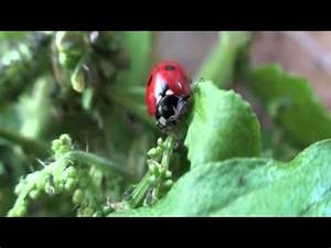 Pfeffer Pflanze Selber Züchten : adalia marienk fer selber z chten youtube ~ Markanthonyermac.com Haus und Dekorationen