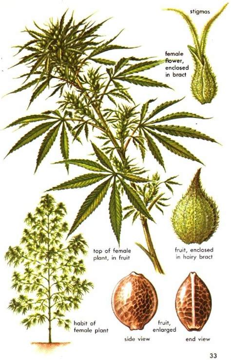 220 ber 1 000 ideen zu growing marijuana indoor auf marihuana pflanzen cannabis und