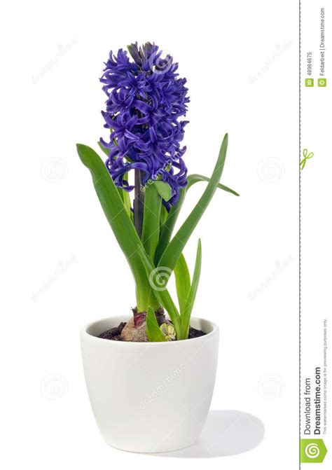 jacinthe dans le pot photo stock image 48984675