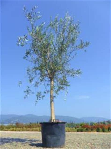 arbres 224 feuillage persistant jardinier pro