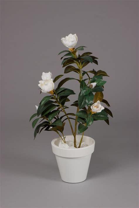 magnolia tree in plastic pot 90cm bomen planten overige