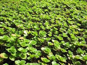Fette Henne Sorten : teppich fetthenne pflanze sedum spurium teppich sedum pflege bodendecker fetthenne schnitt ~ Markanthonyermac.com Haus und Dekorationen
