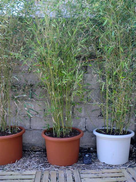bambous en pot ma ruine