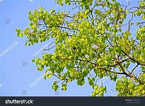 Young Leaf Pho Tree Stock Photo 417442375 - Shutterstock