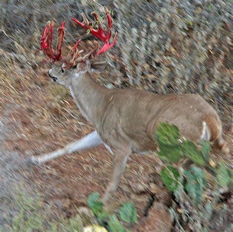 Deer Shedding Velvet by Shedding Velvet Whitetail Deer
