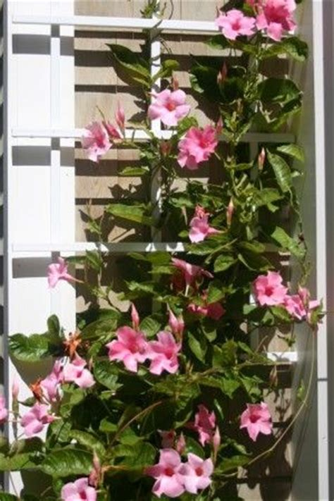 Mandevilla, Climbing Plant  I Have Planted One Of These