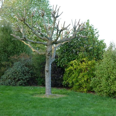 murier platane 1000 arbresfr laposencyclopdie des arbres et