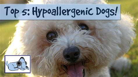 list non shedding hypoallergenic dogs pictures shed less dogs hypoallergenic motorcycle review and