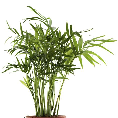 growing palms indoors learn about bamboo palm care