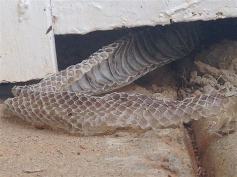 i found these snake skins sticking from an outside wall in