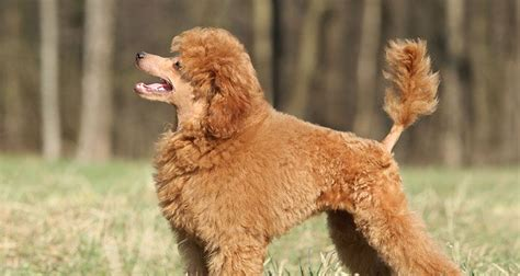 dogs that dont shed hair much large dogs that don t shed much breeds picture