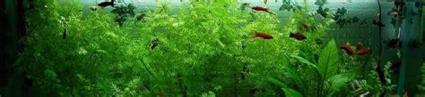 10 plantes d aquarium 224 croissance rapide