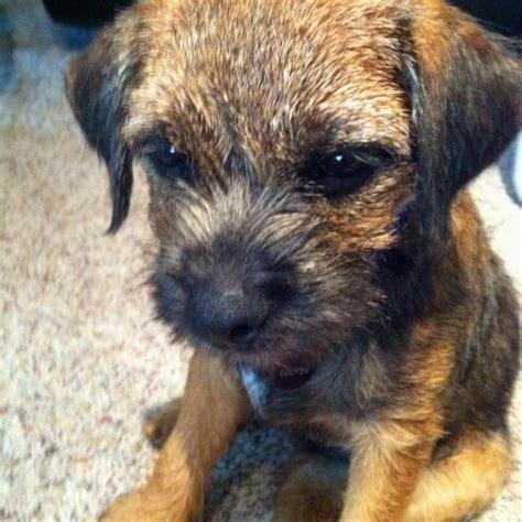 best 25 border terrier ideas on border terrier puppy terrier puppies and terrier