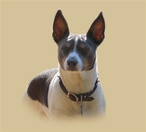 Rat Terrier Shedding Help by Albums By Pocomtuc Rat Terriers Imageevent