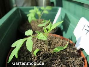 Paprika Pflanzen Pflege : tomaten paprika chilipflanzen richtige pflege nach dem pikieren gartenmoni altes wissen ~ Markanthonyermac.com Haus und Dekorationen