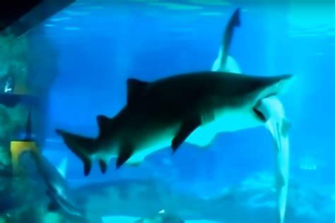 vid 201 o un requin en d 233 vore un autre dans un aquarium de s 233 oul