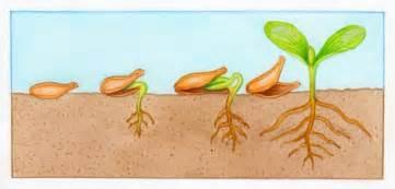 comment planter des graines de potiron