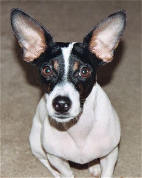 rat terrier info temperament puppies pictures