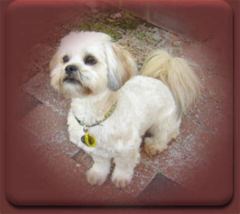 lhasa apso puppy shedding haircut lhasa apso haircuts