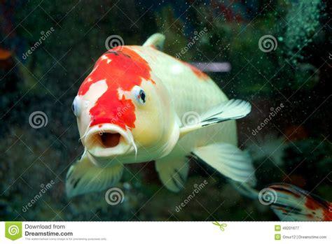 carpe dans l aquarium 224 la maison photo stock image 49201677