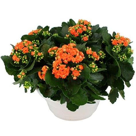 livraison de la plante fleurie automne quot kalanchoe orange quot par florajet