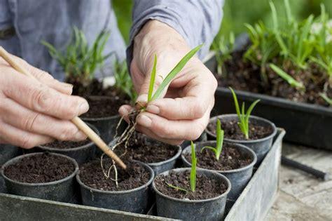 growing agapanthus from seed gardenersworld