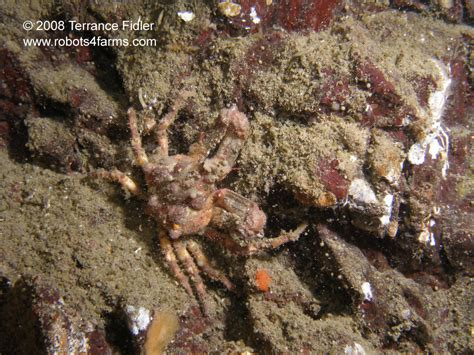 decorator crabs are bottom dwelling or 28 images blue