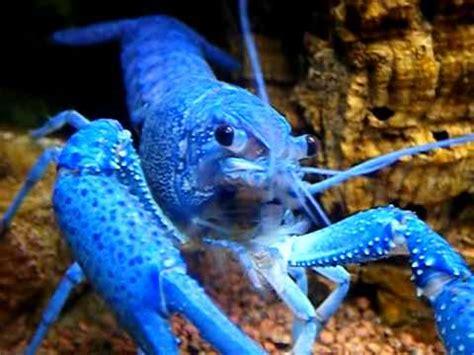 procambarus alleni cambaridae ecrevisse bleu aquarium porte dor 233 e