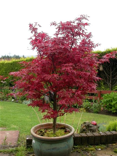 i an acer palmatum skeeter s broom grows on you