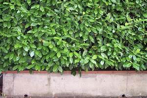 Lorbeer Gelbe Blätter : wie schnell w chst eine kirschlorbeer hecke ~ Markanthonyermac.com Haus und Dekorationen
