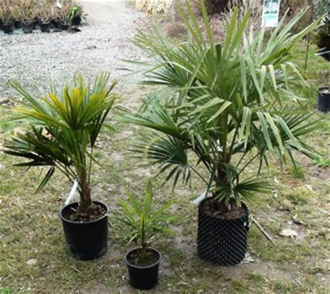 palmier de chine chamaerops excelsa p 233 pini 232 res le lestin