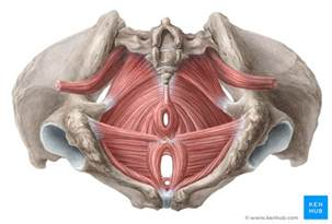 muscles of the pelvic floor anatomy and function kenhub