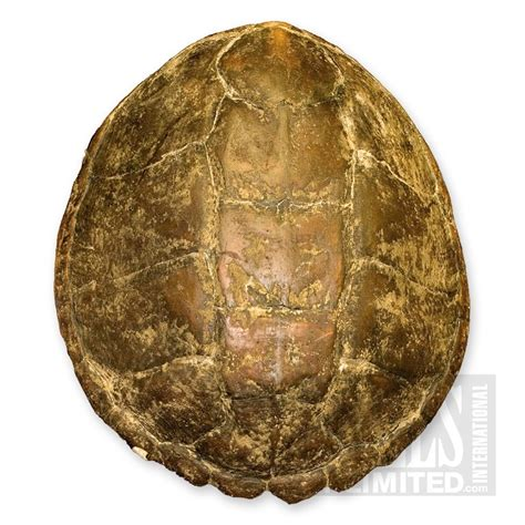 snapping turtle shell www pixshark images galleries with a bite