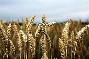 Traditional v modern wheat, Russian wheat, India GM crops