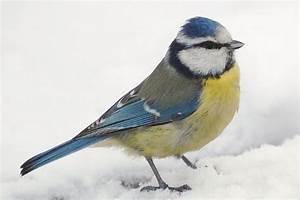 Was Wiegt Schnee : blaumeise sch pfung ~ Whattoseeinmadrid.com Haus und Dekorationen
