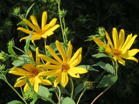Topinambur Pflanzen Die Gesunde Knolle Selbst Anbauen