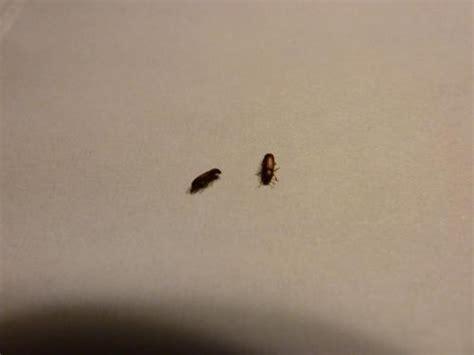 tribolium sp www galerie insecte org