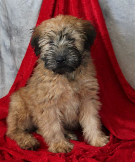 non shedding wheaten terrier puppies friendly loving breeder for sale outgoing