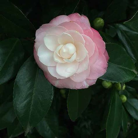 camellia care nurseries