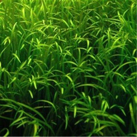 plantes d aquarium gazonnantes facile et pas cher herbe gazon pelouse pour aquariums