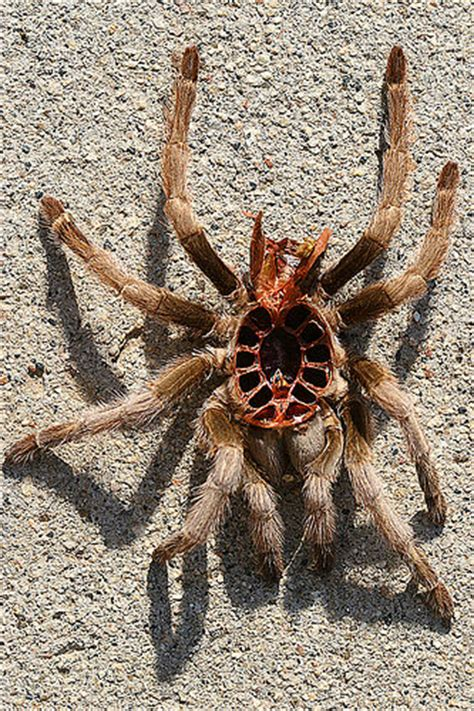 tarantula molt top one of my tarantulas molted today th flickr