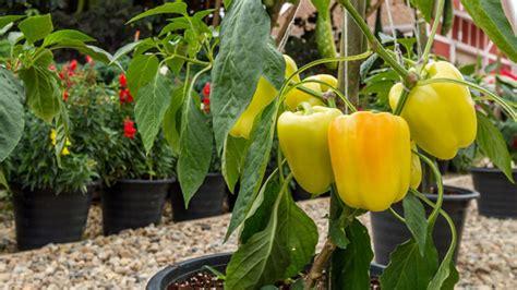 Paprika Pflanzen  Auf Dem Balkon Und Im Garten