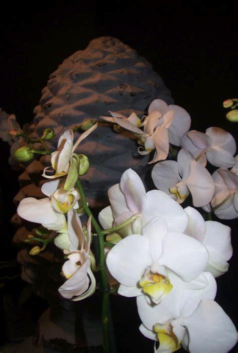 entretien orchid 233 e blanche en pot l atelier des fleurs