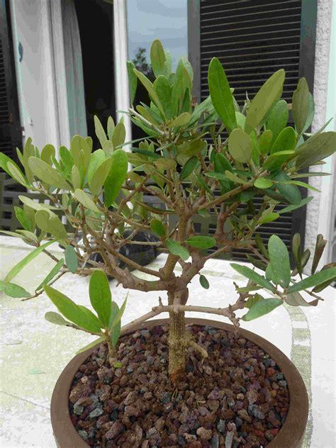 inqui 233 tude pour mon olivier perte des feuilles mon bonsai ne va pas bien forums parlons bonsai