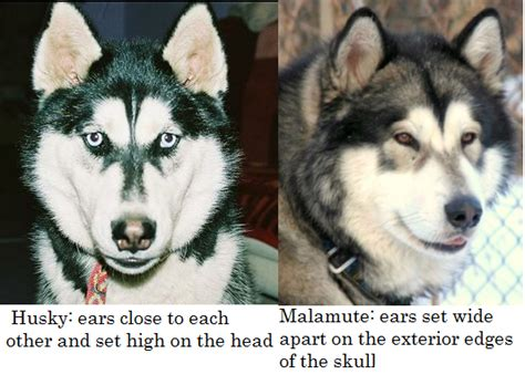 about alaskan malamutes siberian huskies breeds picture
