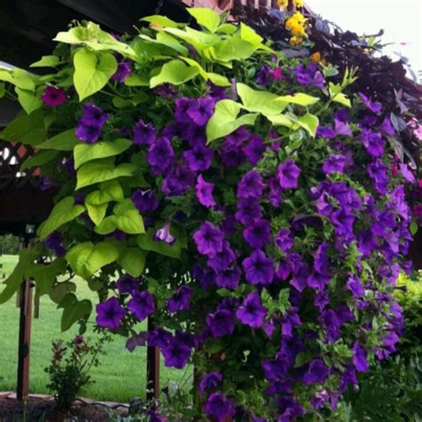 24 Best Images About Flowering Vines For Trellis On
