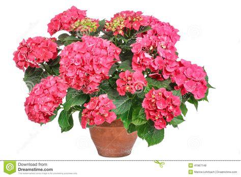 ortensia rosa fotografia stock immagine 41967148