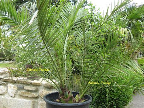 vente palmier porphyrocarpa chez palmiers prestige