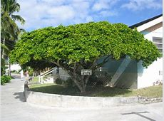 Bahamas National Tree Pictures to Pin on Pinterest PinsDaddy